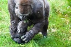 twycross zoo  -3317