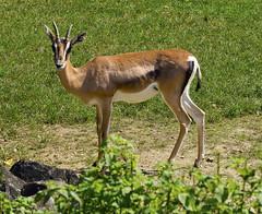 Memphis Zoo 08-31-2016 - Grants Gazelle 1