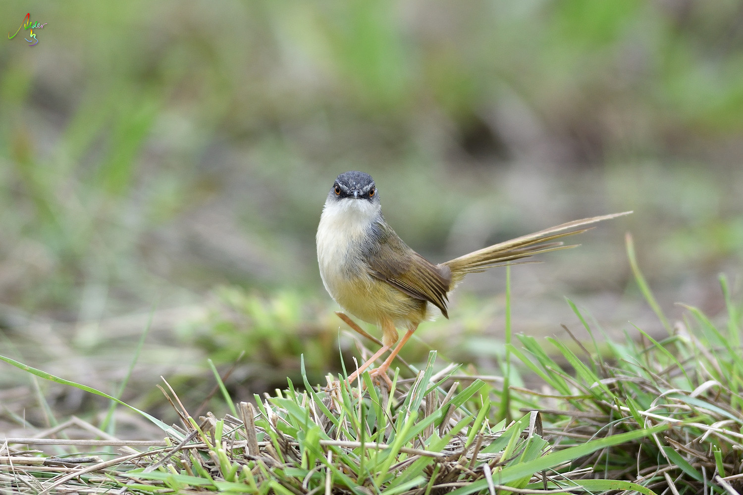 Yellow-bellied_Prinia_3494
