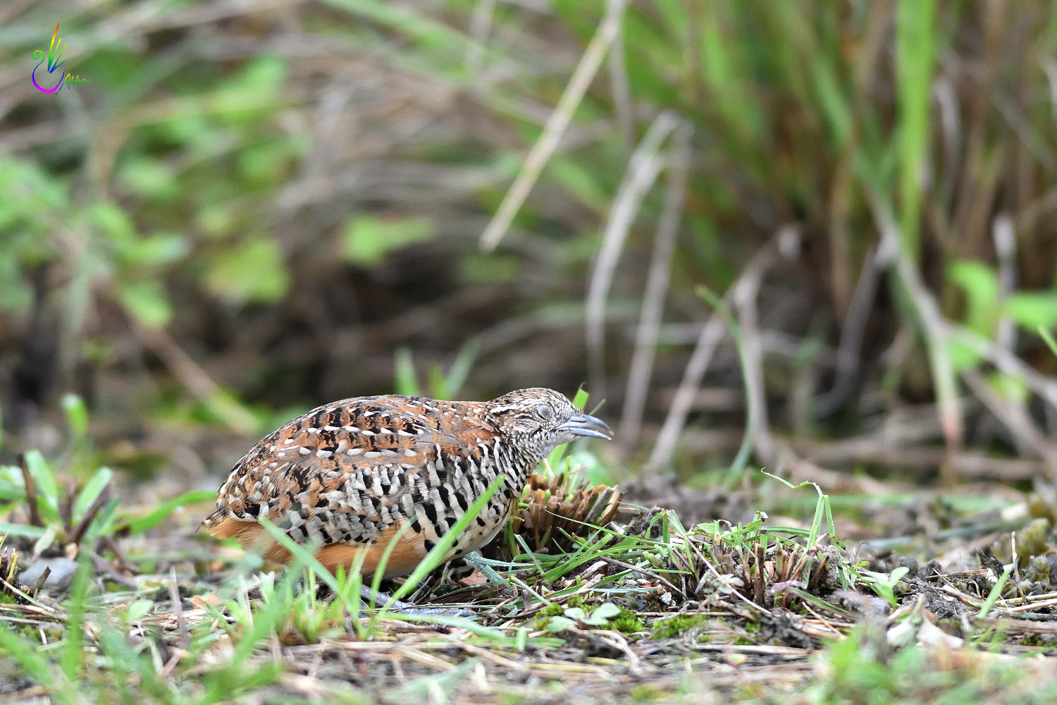 Barred_Buttonquail_1842