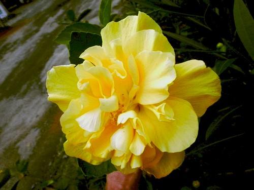 flor hibiscus hibisco es hibiscusrosasinensis espíritosanto regis amarela rosasinensis floramarela silbar ibiraçu regissilbar