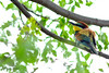 Bee Eater by BFAsuper