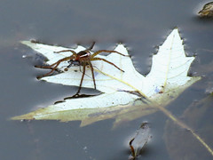 water spider with prey