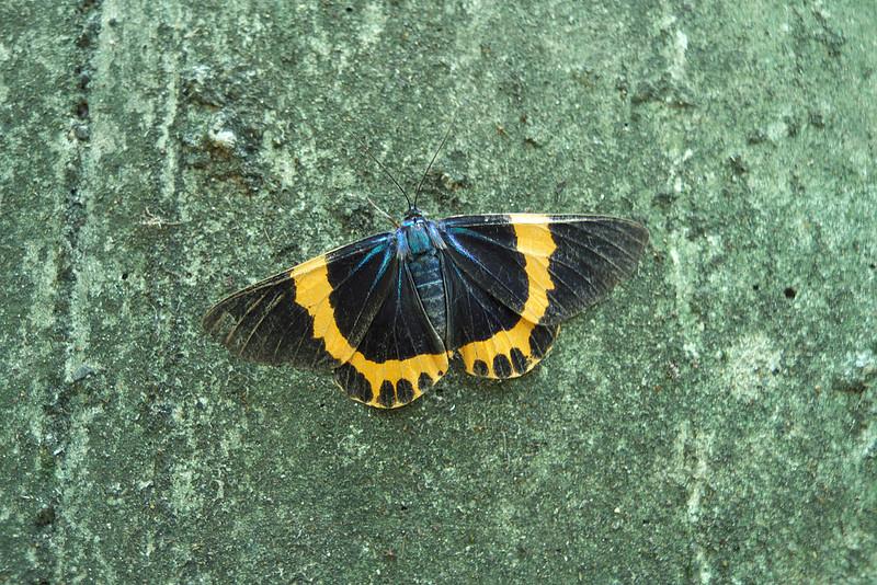金山面公園 - 橙帶藍尺蛾