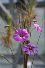 Byblidaceae