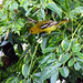Small photo of Common Iora (Aegithina tiphia)