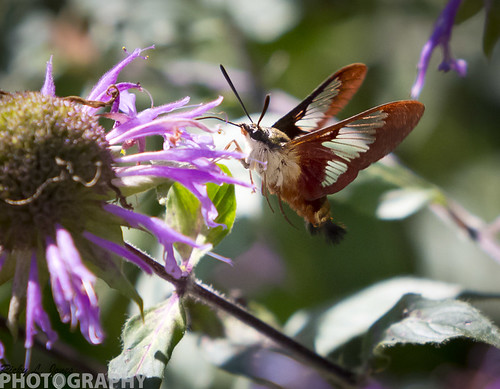 Hummingbird Moth by Ricky L. Jones Photography