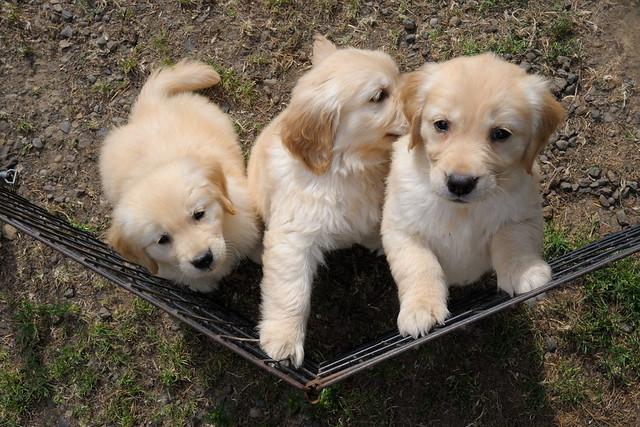Cute Puppies Golden Retriever Cuddly Cutelings