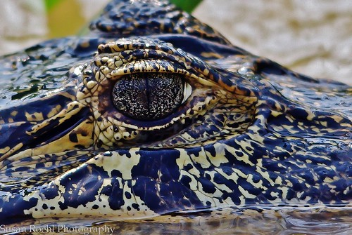 The Eye of a Young Caiman in Brazil