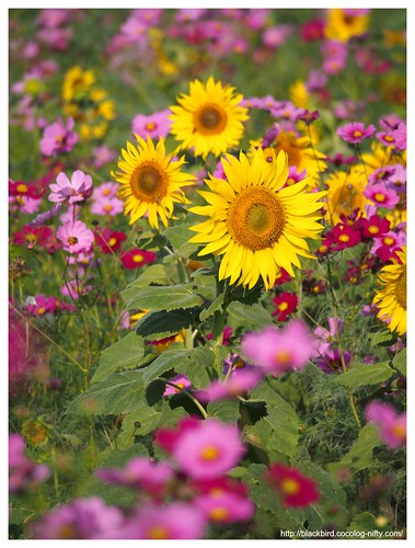 Sunflowers in the cosmos #06