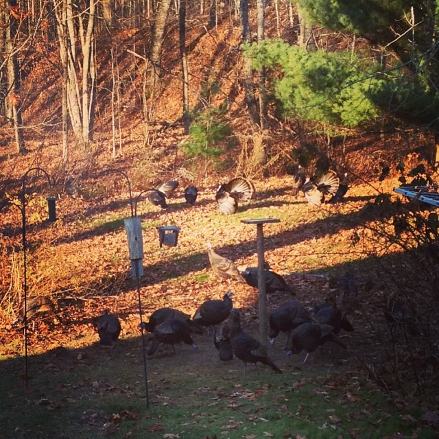 Turkeygram. I see they've brought their friends. Lots of displaying this morning, too. A couple were up on the bird table, but left before I could get my phone. Funny turkeys. #farmlife #wildlife