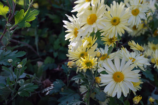 Chrysanthemum 'Gethsemane Moonlight'