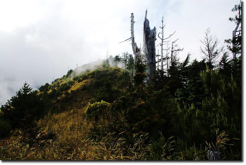 箭竹海中的枯木