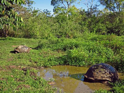 Giant Tortoises Santa Cruz Galapagos