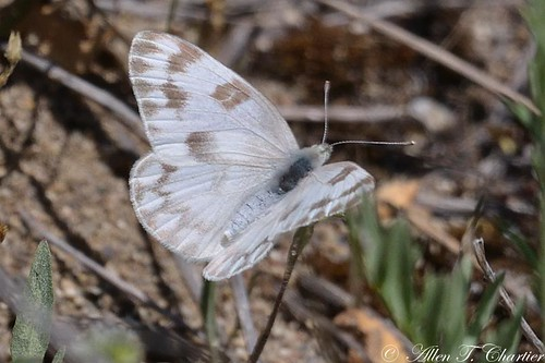 Pontia protodice (Checkered White)