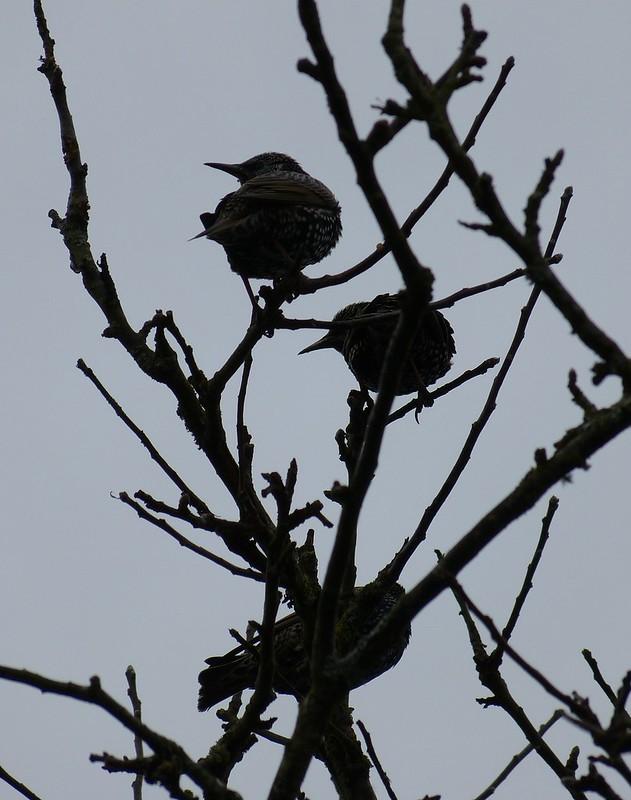 P1060378 - Starlings, Garden