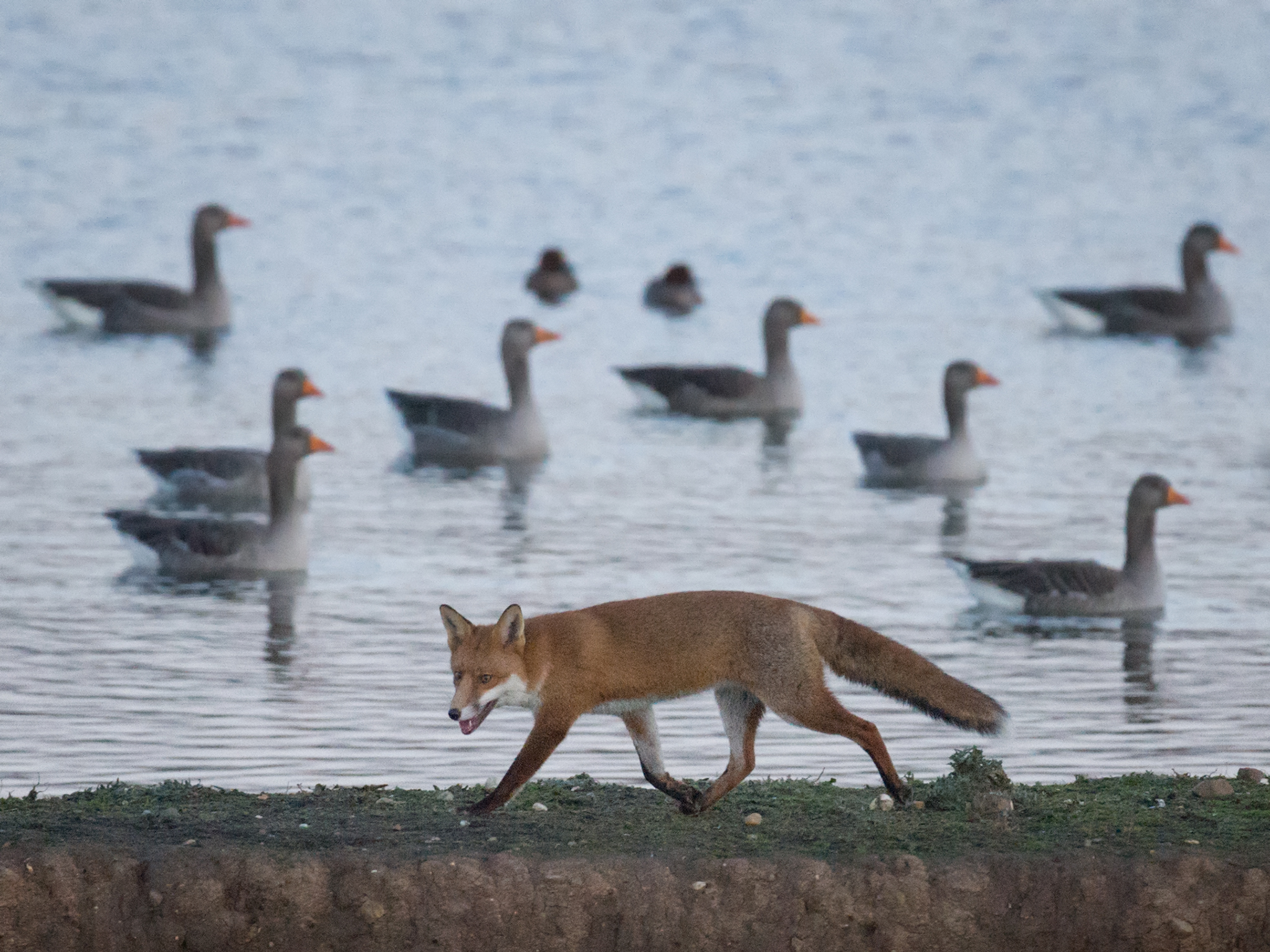 Fox - geese and teal
