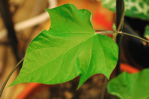 Ipomoea nil Fujie's Star Burst Curled Leaf