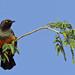 Ahmet Karataş - host.nigde.edu.tr/akaratash has added a photo to the pool:Lamprotornis pulcher - Kestane-karınlı Sığırcık [TR], Chestnut-bellied Starling [EN]GANA: Tono Baraj Gölü yakını30.10.2013Sığırcıkgiller (STURNIDAE) ailesinden bir ötücü kuştur. Afrika'da Sahra'nın güneyindeki orta hat boyunca (Burkina Faso, Kamerun, Çad, Fildişi Sahili, Eritre, Etiyopya, Gambiya, Gana, Gine, Gine-Bissau, Mali, Mauritania, Nijer, Nijerya, Senegal, Sudan ve Togo)'da dağılım gösterir.