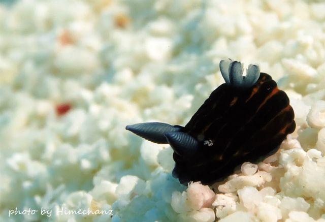 まんまる可愛かったイシガキリュウグウウミウシ