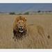 Lion-Walking