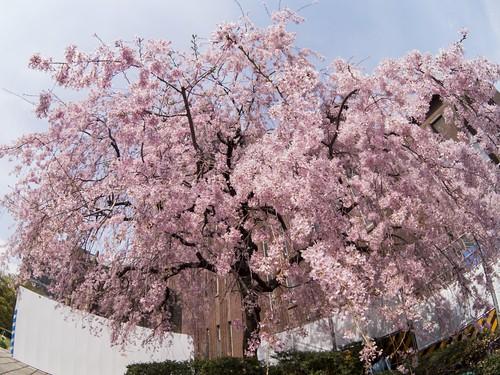 安田講堂の枝垂桜