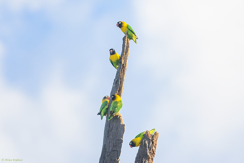 Yellow-collared Lovebird (Agapornis personatus)
