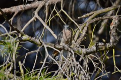 Fan - tailed  Cuckoo