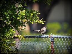 2017-04-07_P4070007_ Mockingbird,clwtr