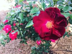 #tearoses #roses #flowers #flowerlove #flowergram #flowerpower #flowermagic #naturegram #outdoors #beautifulday #springtime #georgiaonmymind #igersga #igersgeorgia #igersatl #igersatlanta #northgeorgia