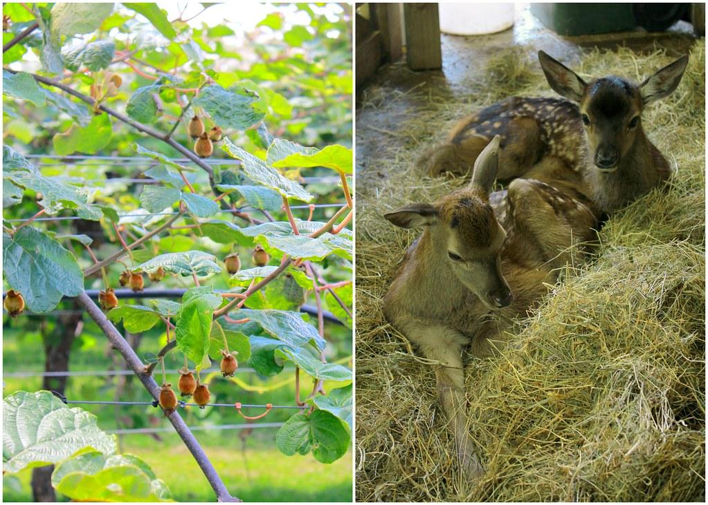 agrodome-farm-rotorua-new-zealand