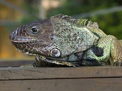 Memphis Zoo 08-31-2016 - Iguana 5