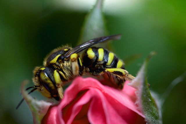 Anthidium florentinum♀