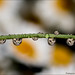 Daisies in the drops by Francesca D'Agostino