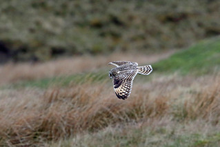 Short-eared Owl, Langdon Beck, Durham, England