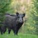 Wild Boar ( Sus scrofa). by Kristian Ohlsson