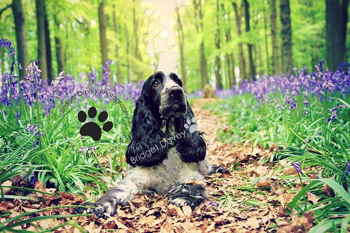 Roxy at Bluebell Woods | Hertfordshire, England