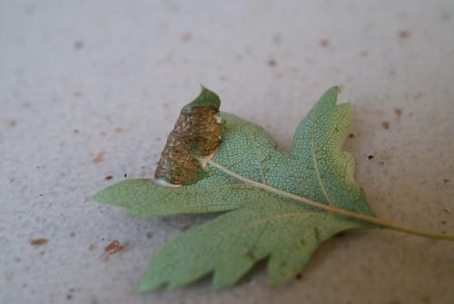 Parornix anglicella leaf mine