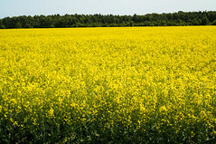 vegetable(0.0), food(0.0), canola(1.0), prairie(1.0), agriculture(1.0), flower(1.0), field(1.0), yellow(1.0), mustard plant(1.0), brassica rapa(1.0), plant(1.0), mustard(1.0), produce(1.0), crop(1.0), meadow(1.0), rapeseed(1.0), rural area(1.0), grassland(1.0),