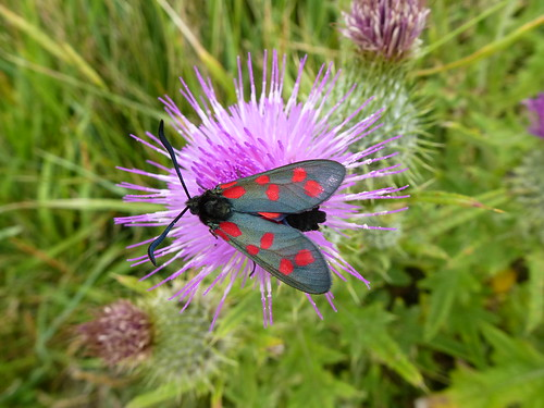 Six Spot Burnet moth by Linda Yarrow