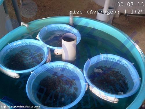 "(30-07-13) Hybrid Grouper 1.5"" - 01 by Kerapu Online"