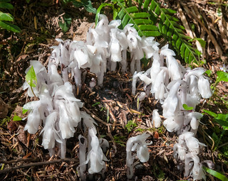Ghost Pipe (Monotropa uniflora)