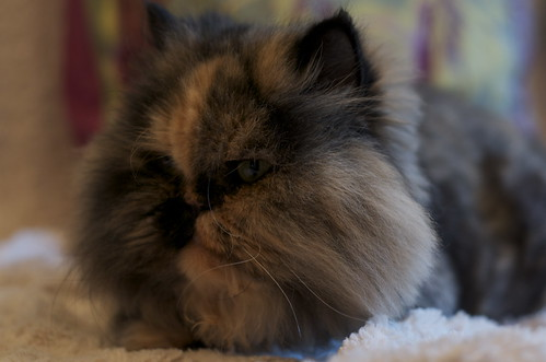 Persian Cat Side View
