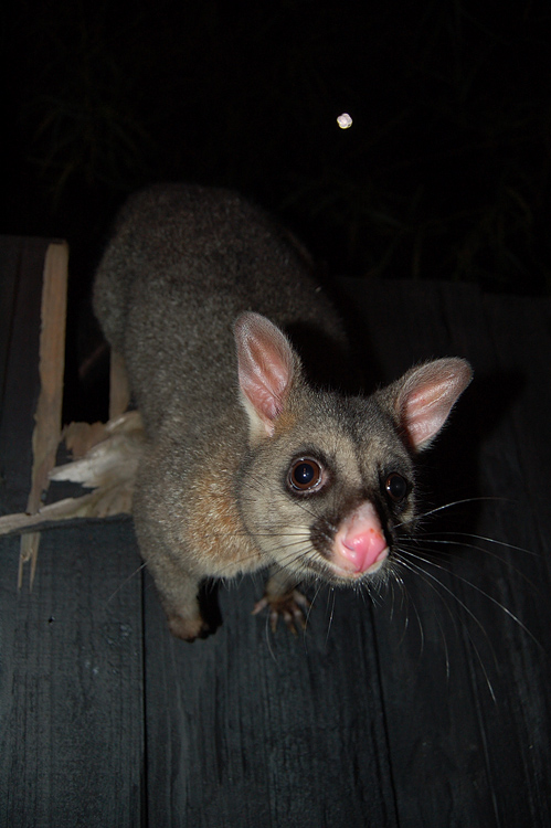 possums_13