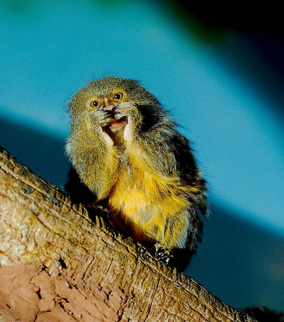 Pygmy Marmoset (Cebuella pygmaea)_18