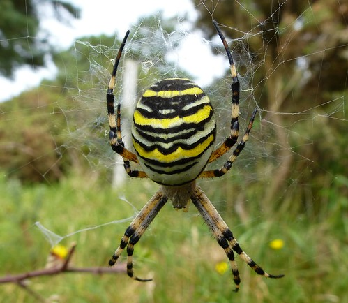 Wasp Spider by Linda Yarrow