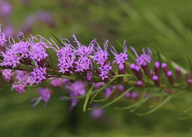 Liatris microcephala:  North Carolina Arboretum