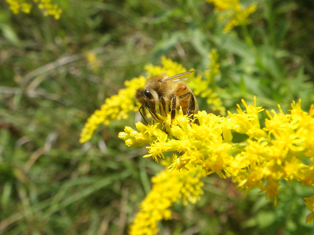 honeybee sipping on the goldenrod