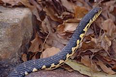 Malagasy Giant Hognose Snake (Leioheterodon madagascariensis) (captive specimen)