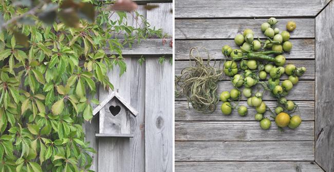 fågelburen och gröna tomater